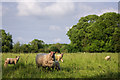 SK3515 : Sheep in a field, near Ashby by Oliver Mills