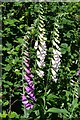 SU2916 : Foxgloves at Half Moon by David Martin