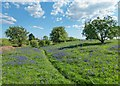 NH8152 : Bluebells and Hawthorn by valenta