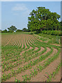 SJ6542 : Maize field near Audlem in Cheshire : Week 23