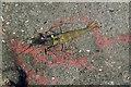 NS2310 : A rockpool shrimp at Culzean shore by Walter Baxter