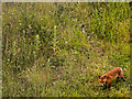 SS5433 : A fox in a small area described as a balancing pond : Week 24