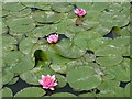 SO8035 : Water lilies by Philip Halling