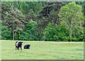 NH9848 : Belted Galloway  Cattle by valenta
