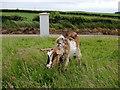 C5447 : Goat, Glackadrumann by Kenneth  Allen