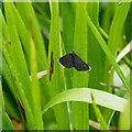 NJ1251 : Chimney Sweeper Moth by valenta