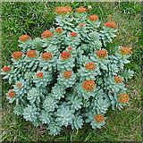 ND2076 : Roseroot (Sedum rosea) by Anne Burgess