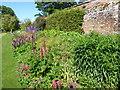 TQ9856 : Lupins in the walled garden at Belmont House by Marathon