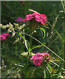 SX9066 : Pinks, Nightingale Park by Derek Harper