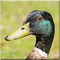 J4967 : Mallard, Castle Espie by Rossographer