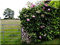 H5572 : Roses and round stone pillars, Bracky by Kenneth  Allen