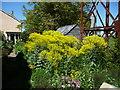 TL4968 : Woad (Isatis tinctoria) in Walnut Tree cottage's garden by Christine Johnstone