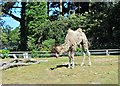 SH8378 : Sparky the young Bactrian camel by Richard Hoare