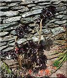 SX9050 : Aeonium Arboreum, Coleton Fishacre by Derek Harper