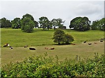 SD5095 : Chewing the cud, near Burneside by Roger Cornfoot