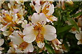 SE6756 : Alstroemeria flower, Breezy Knees Gardens by Rich Tea