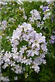 "SE6756 : Flowers of Campanula Lactifolia ""Loddon Anna"" by Rich Tea"