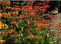 SE2955 : Primulas, Valley Gardens, Harrogate by Derek Harper