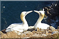 NJ8267 : Displaying Gannets by Anne Burgess