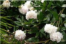 "SE6656 : Peony ""Westerner"", Breezy Knees Gardens by Rich Tea"