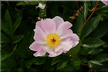"""SE6656 : Peony """"Nymphe"""" at Breezy Knees Gardens by Rich Tea"""