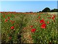 TM4454 : Poppies in a field at Ferry Lane Belt : Week 26
