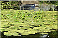 J2766 : Water lilies, Lagan canal. Lambeg (July 2018) by Albert Bridge