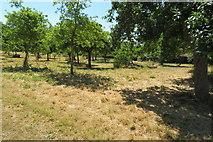 ST5038 : Cider apple orchard, Glastonbury Abbey by John C