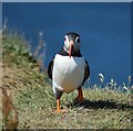 NM2742 : Puffin (Fratercula arctica) on Lunga (1) by Rob Farrow