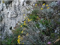 TR3968 : Flowers on the cliff, Stone Bay by David Howard