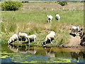 SK7078 : Sheep drinking from the River Idle by Graham Hogg