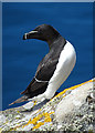 NT6599 : Razorbill (Alca torda) by Anne Burgess