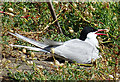 NT6599 : Arctic Tern (Sterna paradisaea) by Anne Burgess