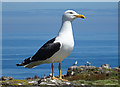 NT6598 : Black-backed Gull by Anne Burgess