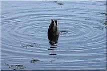 SE2712 : Yorkshire Sculpture Park: feeding duck by Rudi Winter