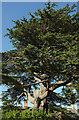 ST4849 : Cedar, Rodney Stoke by Derek Harper