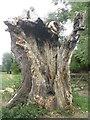 TL4355 : Tree trunk, Grantchester Meadows by M J Richardson