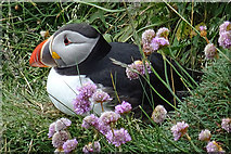 HY5042 : Puffin (Fratercula arctica) by Anne Burgess