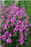 HY5042 : Red Campion (Silene dioica) by Anne Burgess