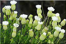 HY5042 : Sea Campion (Silene uniflora) by Anne Burgess
