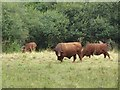 ST4240 : Cattle on Shapwick Heath by Oliver Dixon