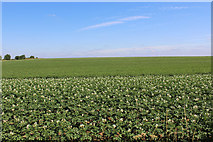 SE4738 : Field of Potatoes - The Lancastrian Lines by Chris Heaton
