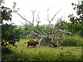 TQ4334 : Cattle grazing, Forest Row by Malc McDonald