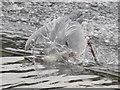 SJ4065 : Heron fishing on Chester's River Dee weir #2 by John S Turner