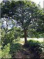 SN6879 : Oak tree on the path to Aberffrwd by John Lucas