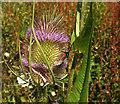 SX9066 : Moths on teasel, Nightingale Park by Derek Harper