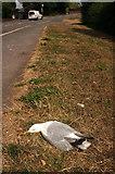 SX9065 : Dead seagull, Barton Road by Derek Harper