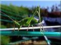 SU1982 : A grasshopper, Swindon by Brian Robert Marshall
