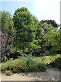 ST4318 : Maidenhair Tree in East Lambrook Manor Garden by Oliver Dixon