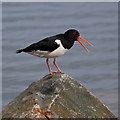 NH7055 : An oystercatcher at Avoch Harbour by Walter Baxter